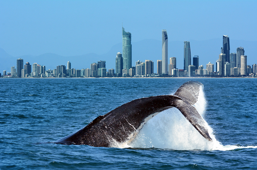 Whale Watching In Gold Coast Australia